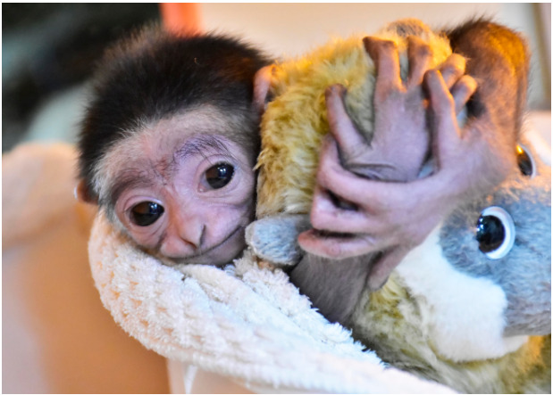 シロテテナガザルの赤ちゃん